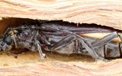 PRO HYGIENE SOLUTION: Spécialiste du traitement des insectes xylophages