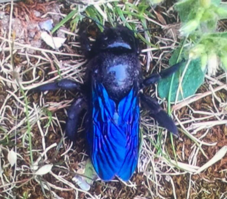 PHS abeille xylocope : espèce assez rare en France